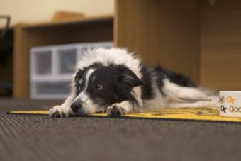 Investigadores crearon un arnés que facilita la comunicación entre perros y humanos