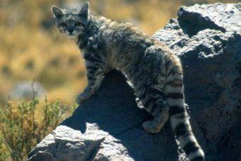 Luego de 20 años buscándolo, por fin hay imágenes del gato montés andino
