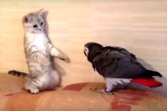 Loros molestando a gatos (video)