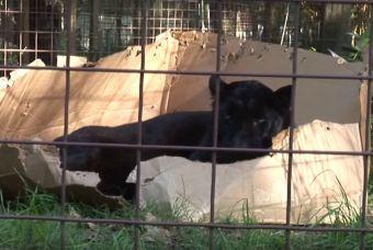 ¿Sabías que a los grandes felinos también les gustan las cajas? (Video)