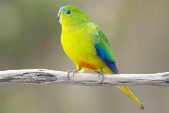 Un virus letal podría acabar con una especie de exóticas aves