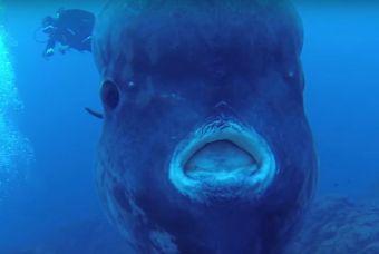 El pez más grande del mundo es divisado cerca de una isla portuguesa