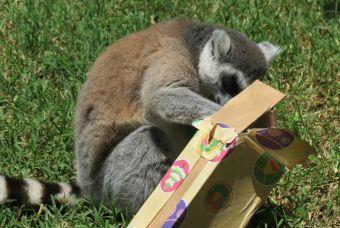 Animales del Buin Zoo abren sus regalos de navidad