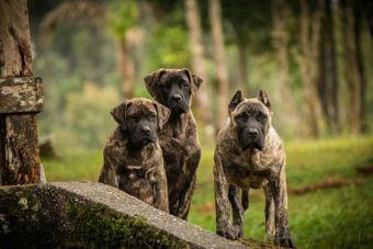 Perfiles: Dogo Brasilero