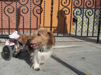 5 videos de perritos con capacidades diferentes que te harán amar la vida