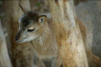 Científico iraníes clonaron un muflón salvaje