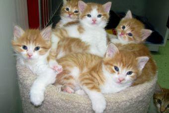 ¿Por qué debieras esterilizar/castrar a tu gato?