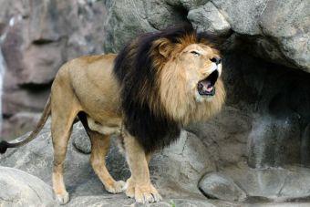El león pasó a la lista de especie vulnerable