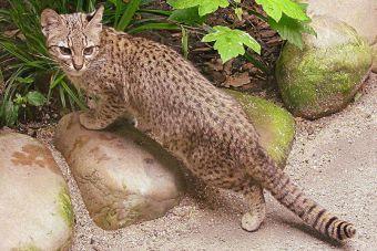 Se robaron los gatos monteses del Zoológico de Mendoza