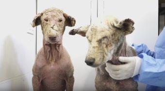 La impactante recuperación de 2 perros abandonados