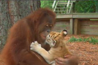 [Video] Orangután se hace cargo de dos tigres cachorros