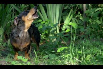 [Video] Parodian trailer de Jurassic World con perros salchichas