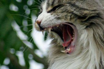 [Video] Un pequeño gato es capaz de ahuyentar a un gran oso