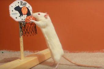 Ratoncitos que pueden ser muy inteligentes (video)