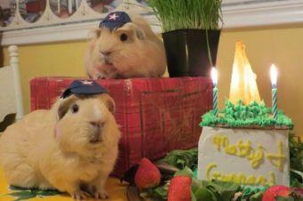 14 Tiernas imágenes de Cobayos celebrando su cumpleaños