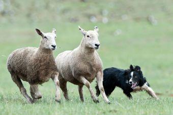 Los perros pastores podrían dejar de trabajar en una ciudad española