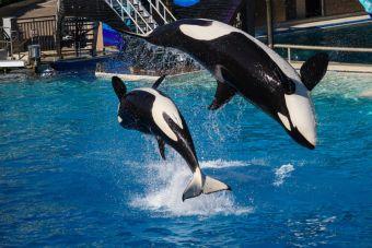 Acuario de Miami, terminó con los show de una veterana orca y su entrenador