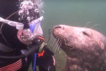 Foca y buzo se convierten en mejores amigos (video)