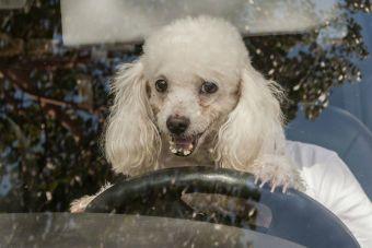 Škoda incluye cinturón de seguridad para mascotas en sus autos