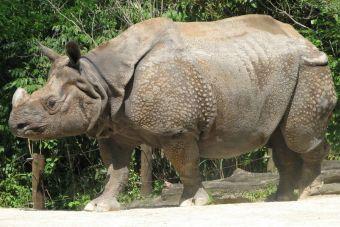 3 crías de rinocerontes de Java fueron encontradas en Indonesia