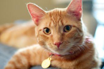 Este fin de semana elegirán al gato más lindo de Chile