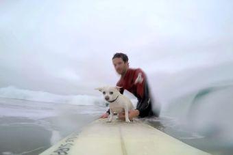 [Video] Un simpático chihuahua surfea con su dueño