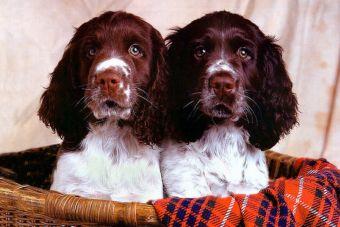 La clonación de perros se está abriendo al mercado