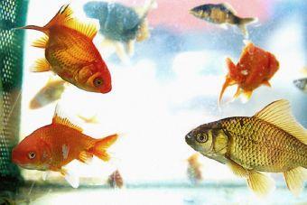 5 razones de por qué los peces son las mascotas más tristes