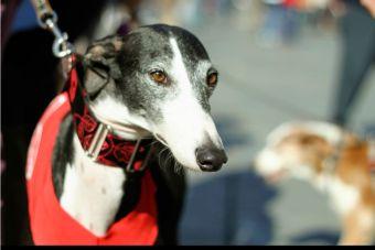 Carreras de perros Galgos: ¿Deporte o Abuso?