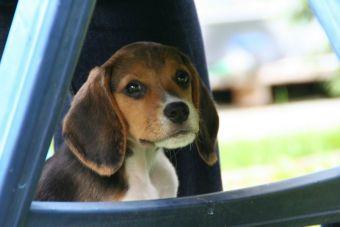 Perfiles: Beagle