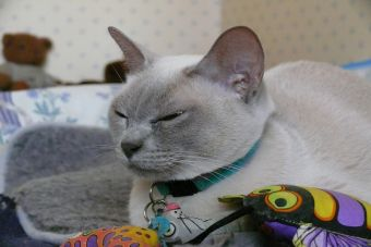 Perfiles: gato Tonkines