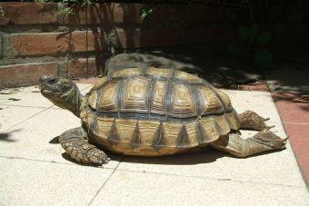 Cuidados de las tortugas de tierra