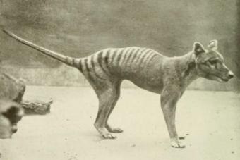 Animales Extintos: El Lobo o Tigre de Tasmania
