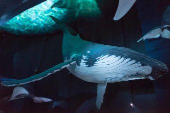La reina de los mares: la ballena azul