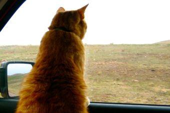 ¿Cómo acostumbrar a mi gato a andar en auto?