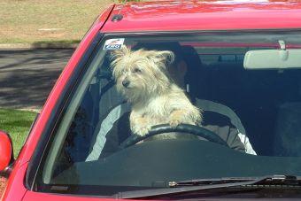 ¿Cómo hago para que mi perro disfrute de un viaje en auto?