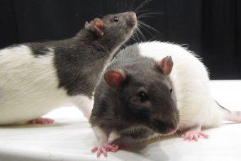 ¿En qué consiste la experimentación en animales con fines cosméticos?