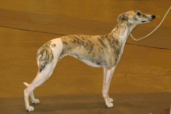 Perfiles: Whippet