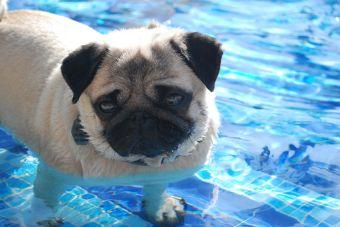 5 vídeos de perros arrugados jugando en sus piscinas.