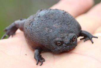 Animales que no creerás que existen: Rana negra de lluvia (Breviceps fuscus)