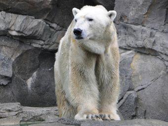 Osos polares se han vuelto caníbales debido a la escasez de alimento por el cambio climático
