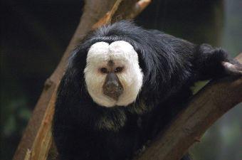 Animales que no creerás que existen: Mono Saki