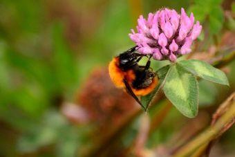 Declaran en peligro de extinción al abejorro chileno