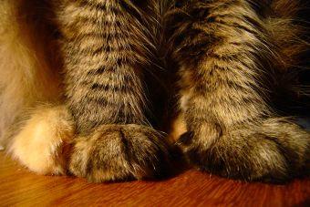 ¿Por qué es malo amputarle las uñas a un gato?