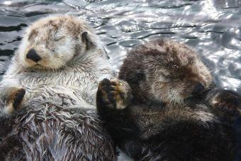 ¿Sabías que las parejas de nutrias se toman de la mano cuando duermen?