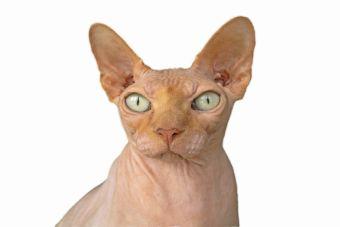 ¿Cómo saber si un gato es de raza?
