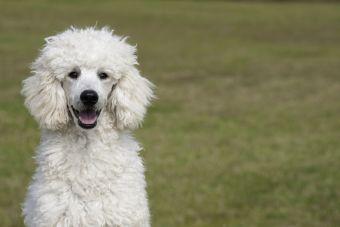 7 razas de perros que no sueltan pelo