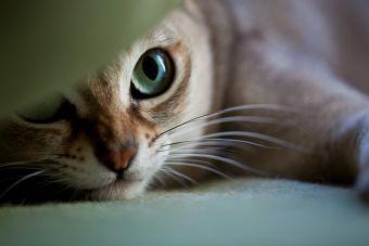 7 razas de gatos que no crecen