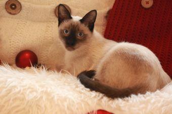 ¿Cómo es la alimentación de un gato siamés?