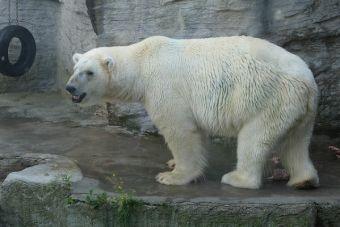 La polémica entre la cantante Cher y Cristina K sobre los cuidados del único oso polar en Argentina